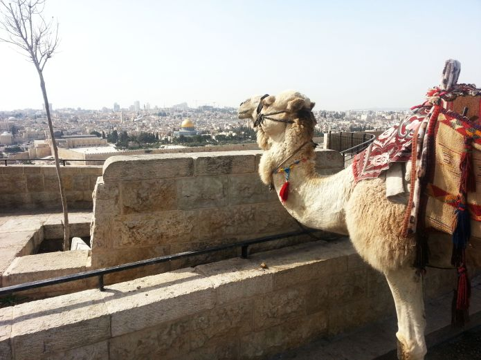 גמל מתרגש מול העיר העתיקה